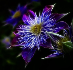 Glowing Flowers (Robby Ryke) Tags: flowers blue atlanta lightpainting canon glow purple clematis fractal pandora glowingflowers