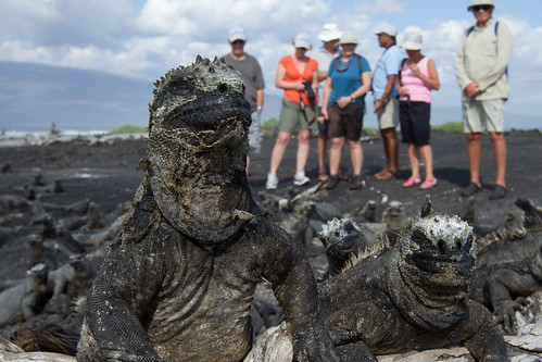 Marine iguanas on Espinosa Point, Fernandina Island