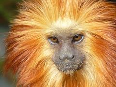 Golden headed lion tamarin (Nicola Williscroft) Tags: zoo primate nationalgeographic tamarin goldenheadedliontamarin specanimal