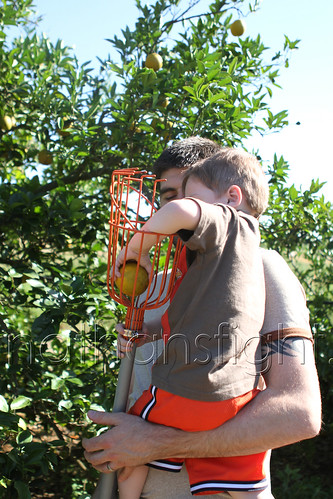 Picking Florida Oranges-7