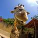 Sunshine Giraffe
