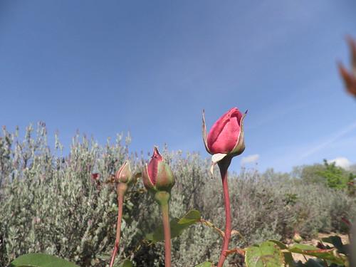 botões de rosa em céu azul