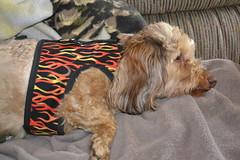 dog chien pet frank hound canine dachshund perro hund wienerdog dackel teckel k9 doxie sausagedog aplaceforportraits pointyfaceddog