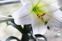 Lily (Nicholas Z Cai) Tags: orange white flower green leaves yellow easter petals pretty lily awesome blossoms petal stamen stigma tepal flickraward