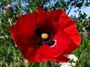 amapola (jacilluch) Tags: red flower macro fleur rojo flor blossoms poppy rosella silvestre coquelicot poppys amapola cornpoppy papoula gineceo papaverrhoeas adormidera encarnado ababol mitxoleta papaverorosso papuela rossopapavero amapolacomun
