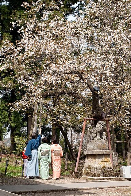 Cherry blossoms in Fukushima2 (Aizu-wakamatsu)