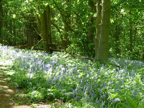 Harlaxton woods at bluebell time