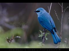 Varditer Flycatcher (Male) (Z.Faisal) Tags: bird trongsa faisal muscicapa thalassina bhuta eumyiasthalassina eumyias zamiruddin zfaisal neelchutki varditerflycatcher