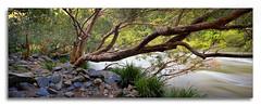 Flood Effected Tree (Russell Stewart / AustralianLight.com.au) Tags: panorama water river landscape flow pano rapids flowing pixelpix canontse24mmf35lii adpotd