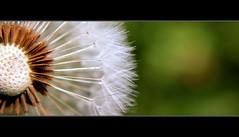 blow ~~~  Explore 05.05.2011 :))) (Sam ) Tags: flower macro nature canon eos yahoo flickr sam natur explore blume makro samen lwenzahn pusteblume commondandelion taraxacumsectruderalia ripefruits doublyniceshot tripleniceshot mygearandme mygearandmepremium mygearandmebronze artistoftheyearlevel3 artistoftheyearlevel4