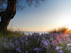 carezza di luce (NIKOZAR (Nicola Zaratta)) Tags: flowers summer italy sun primavera beach alberi landscape spring italia estate coolpix fiori albero pino effect colori hdr taranto p500 torreovo apulia nikoncoolpix fiatlux jonio litoranea lizzano maruggio litoraneasalentina litoraneajonica nikonp500 nikoncoolpixp500 coolpixp500 nikozar nikonkoolpix nkoncoolpix theinspirationgroup