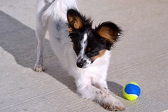 Play with me! (Pappup2010) Tags: dog pet white black color cute animal butterfly puppy toy play small tan canine papillon tricolor pup breed tri pap toybreed butterflydog