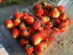 Een kilo aardbeien geplukt