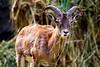Markhor (genus Capra) Loi Bher wildlife park, Islamabad Pakistan (Engineer J) Tags: grass animal fauna fur zoom outdoor junaid m national horn rashid capra paksitan markhor uet alamy engr nogetty gettyimagespakistanq2 alamyready