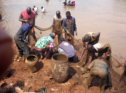 Fish harvesting, Cameroon, Africa. Photo by Randall Brummett, 2003.