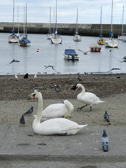 Birds in Bray Harbour