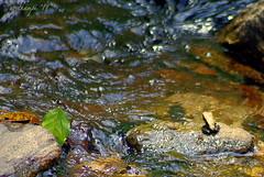 The Frog Prince (xcalibr) Tags: kerala downstream attapadi fungoidfrog arvthampi
