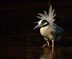 Unreal (ozoni11) Tags: bird heron nature birds animal animals nikon columbia herons columbiamaryland d300 yellowcrownednightheron michaeloberman yellowcrownednightherons howardcountymaryland ozoni11 avianexcellence