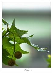 Lluvia (Enric.) Tags: barcelona arbol lluvia gotas canon70300 platanero 5dmii