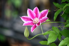 pretty in pink (harvest.moon) Tags: pink flower clematis