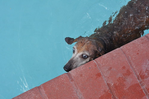 Dachshund Pool Party 2011 (8)