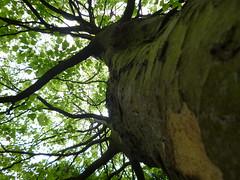 Tree @ Pinner Memorial (2) (Brisbane Based) Tags: park uk tree june memorial middlesex pinner 2011