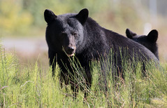 Munch time. (Maja's Photography) Tags: bc blackbear bear bears black wildlife wilderness nature animals amazing canon wild