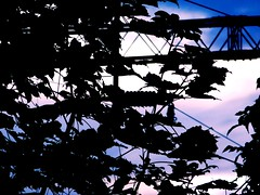 Silhouette (David_Blair) Tags: glasgow scotland silhouette train wires trainline tree trees leaf leaves twigs branches landscape