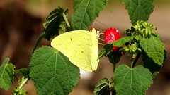 It was a Cloudless Sunny Day (ChicaD58) Tags: dscf5201b cloudlesssulphur butterfly yellowbutterfly flowers garden dausettrailsnaturecenter summer abigfave