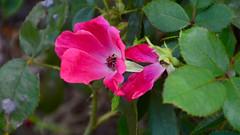 Single Bloom (joshuaberneking) Tags: nikon d5100