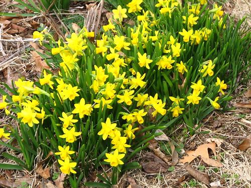 Tete-a-Tete daffodils