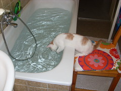 Cleese 2008 7 (Schmasipopasi) Tags: brown white cute water cat bath wasser european sweet drinking shorthair bathtub katze badewanne braun 2008 kater cleese kurzhaar weis esh ss ekh europisch