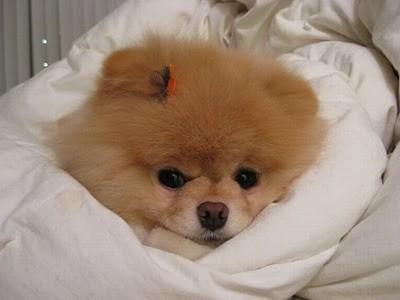 boo_Pomeranian_Dog_48