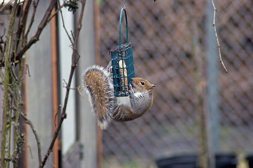 Visitors to our suet cage - Gray Squirrel