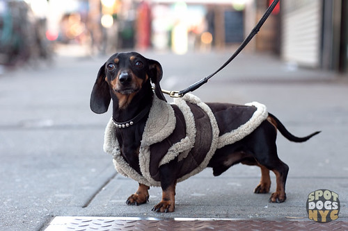 Dachshund on Manhattan Ave by Spot Dogs NYC