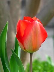 Simplicity (David Hoffman '41) Tags: red flower color green nature leaves virginia spring bokeh danville simplicity tulip bloom curve simple naturesfinest straightness platinumheartaward danvillesciencecenter vanagram