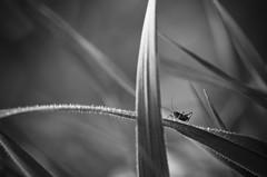 Lost in a big world (Mathieu Calvet) Tags: blackandwhite france macro insect weed little noiretblanc pentax lot 100mm insectes sauterelle herbe k5 kpark midipyrénées macrophotographie justpentax pentaxart pentaxk5 pentaxfa100mmf28macro