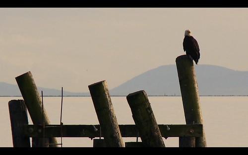 Bald Eagle, Iona Park