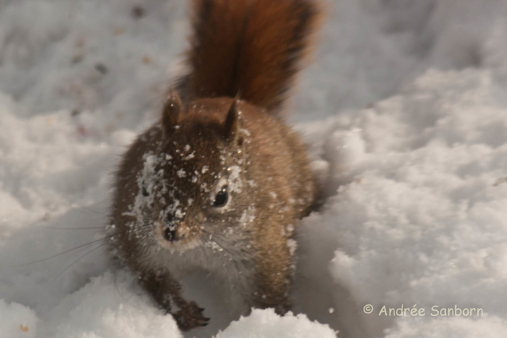 Red Squirrel at the Feeders (18 of 18).jpg