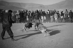 Afghan sheep fighting gambling, Kabul, Afghanistan (Michal Przedlacki) Tags: life kite afghanistan flying scenes kabul burqa afganistan distributionsdecember