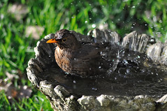 Hot enough for a bath (rosyrosie2009) Tags: uk england water birds photography spring bath birdbath flickr wildlife turdusmerula tamron blackbird looe westcountry d5000 tamronaf70300mmf456dildmacro tamron70300mmlens rosiespooner rosyrosie2009 rosemaryspooner rosiespoonerphotography