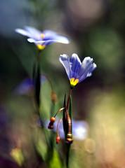 Blue Gilia (Gilia rigidula) (Anne Worner) Tags: blue blur flower macro lensbaby blossom bokeh bloom composer giliarigidula sweet35 anneworner bluegilla