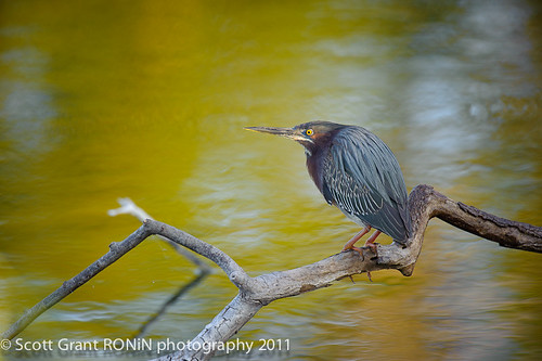Hunting Green Heron, Venice Rookery, Florida by Scott Grant