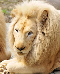 White Loin-2 (33Tazz) Tags: white tom lion schoon