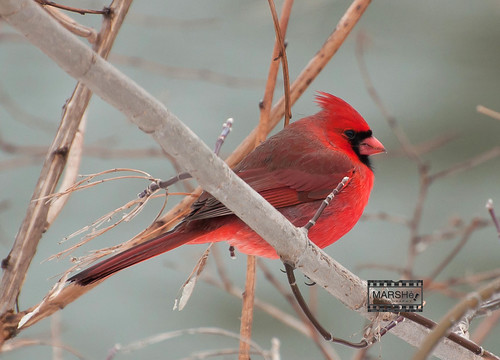 Cardinal - Kilally Valley Park, London Ontario