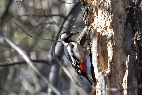 Norwegian woodpecker