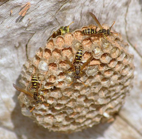 Types of Wasp Nest