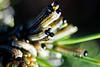 The Dinner - Neodiprion sertifer larvae (Domdomfrommionnay) Tags: macro pine caterpillar needles larvae macrophotography neodiprion sertifer kenkoextension canoneos50d canonef75300mmf456usm neodiprionsertiferlarvae dipriondupinsylvestre tenthrèdebilignée
