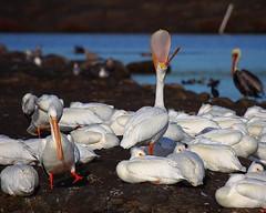 IMG_4019 Call Me Big Mouth (ThorsHammer94539) Tags: white bay san francisco wildlife pelican national american don edwards refuge americanwhitepelican