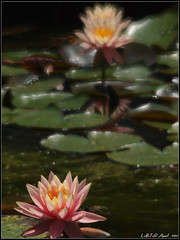 Waterlily (LoBsTeRbig) Tags: flower waterlily m42 ep1    czj13535  card6 p4069099